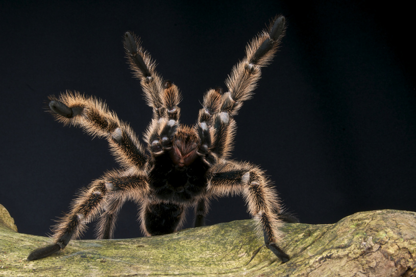 Verhalten von Vogelspinnen