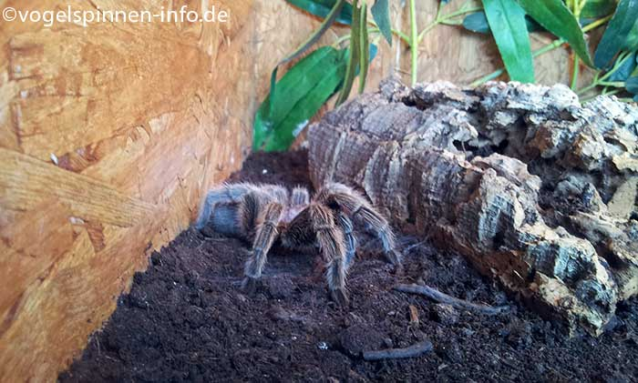 Grammostola-rosea-rote-chile-vogelspinne-2