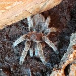 Grammostola-rosea-rote-chile-vogelspinne-5