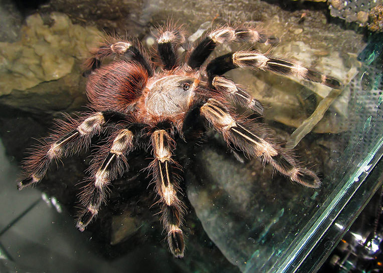 Nhandu-chromatus-female