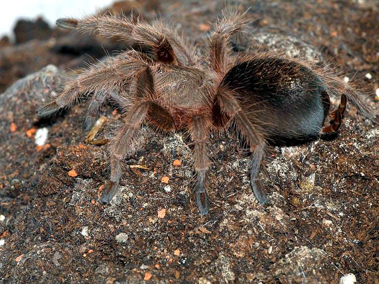 Young.grammostola