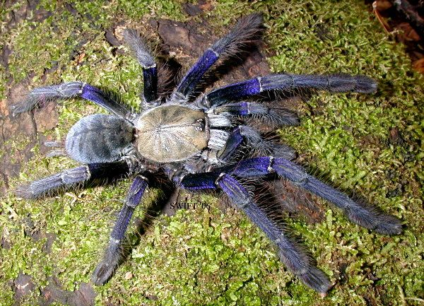 singapore_blue-lampropelma-violaceopes