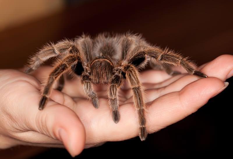 Vogelspinnen Handling