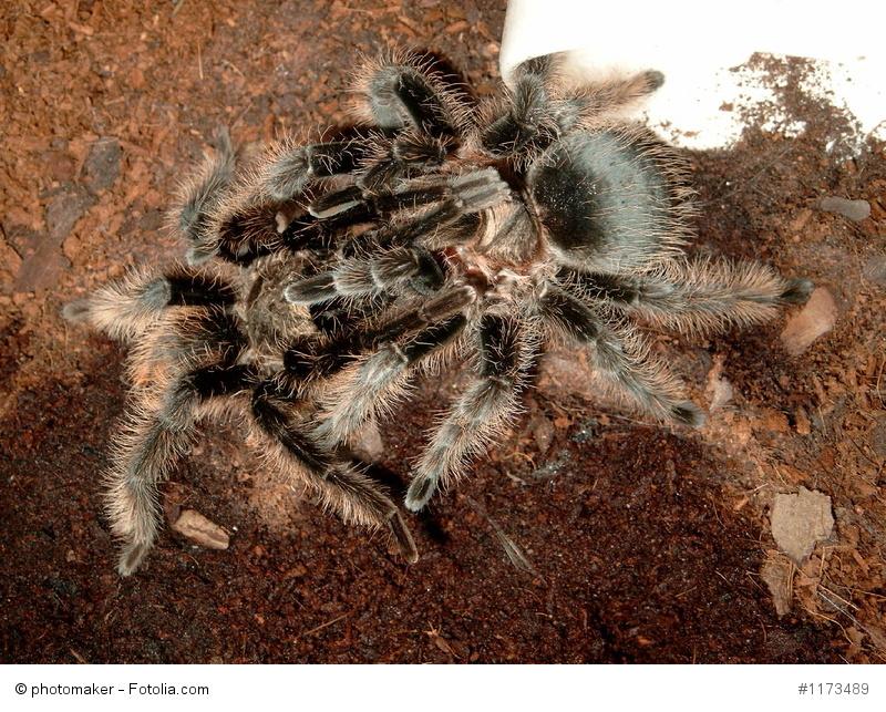Vogelspinnen Paarung